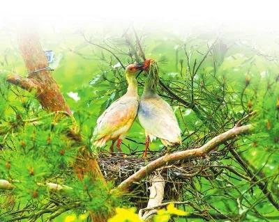 我省朱鹮进入繁殖期 野外已发现24对筑巢产卵