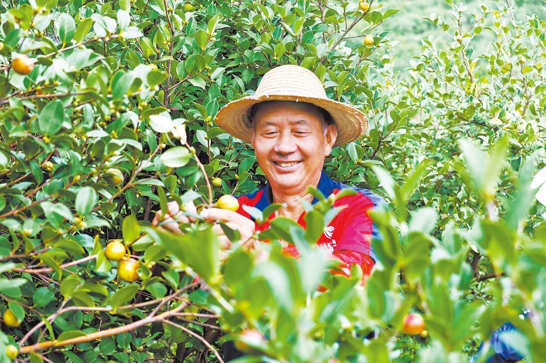 践行嘱托争出彩 温暖的回响 山油茶美了乡村富了农家