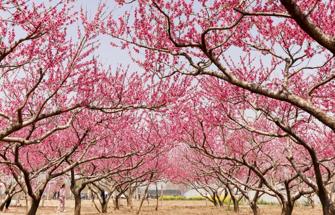 西华:桃花源第十七届桃花节于3月22日开幕