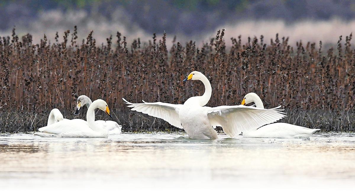 又到候鸟迁飞时 今年首批天鹅飞抵三门峡