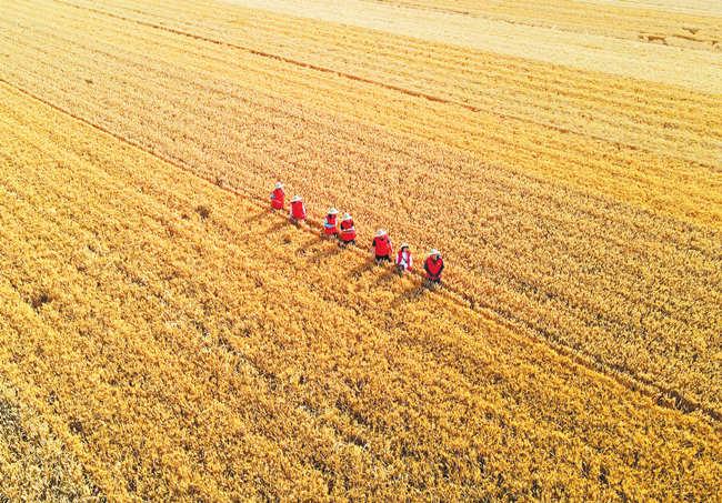 河南小麦总产量咋测算出来的?