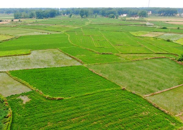 Ratooning Rice Field in Huaibin