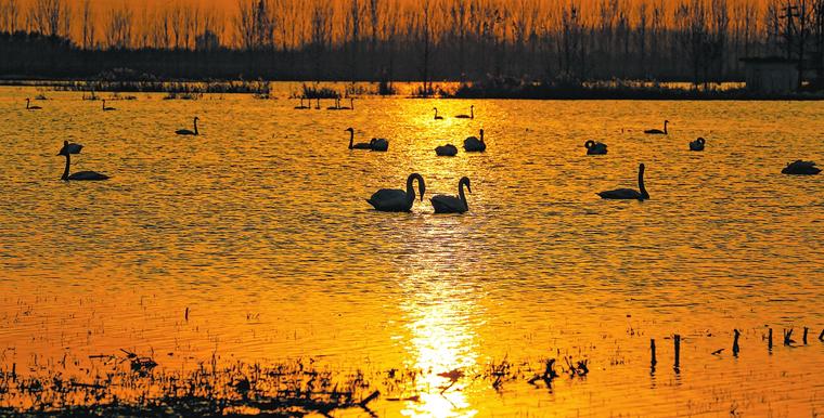 黃河岸邊 天鵝舞