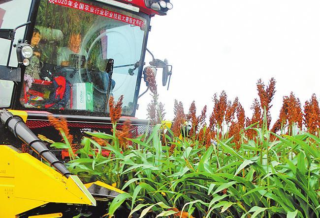 Farmers Reap Crops during Sorghum Harvest Season in Zhoukou