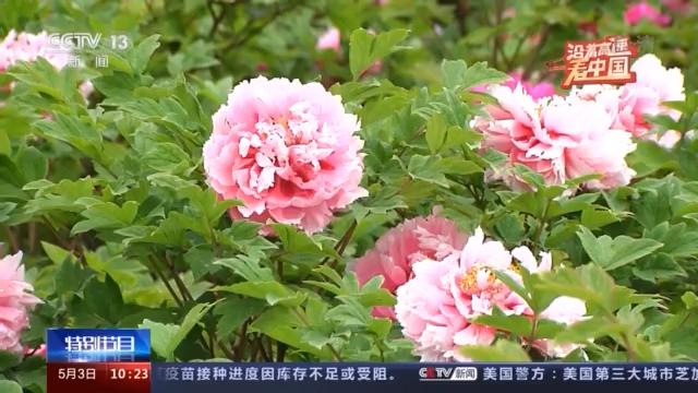 """央媒看河南丨以花为""""媒"""" 洛阳牡丹开出新幸福"""