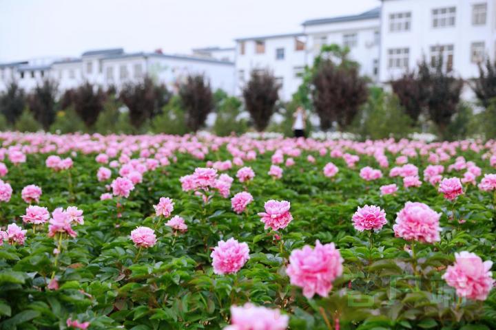 河南指南-洛龙芍药花海向市民游客免费开放