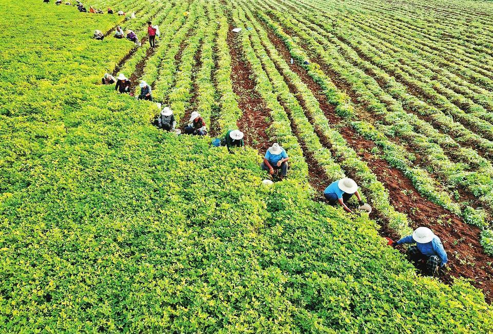 Farmers Welcome Harvest Season in Mengzhou