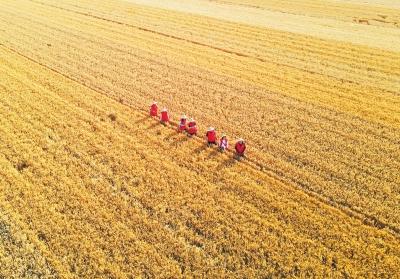小麦总产量咋测算出来的?