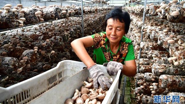 【图片新闻】河南卢氏:香菇撑起大产业