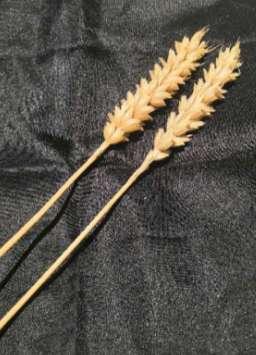 小小莛子麦  传承古技艺<br> —第三次全国农作物种质资源普查与收集行动掠影