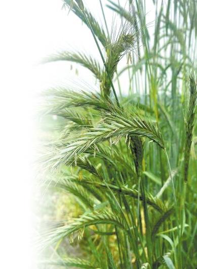 """河南农大绘制黑麦基因组高质量精细物理图谱 画出粮食作物抗逆改良""""导航图"""""""
