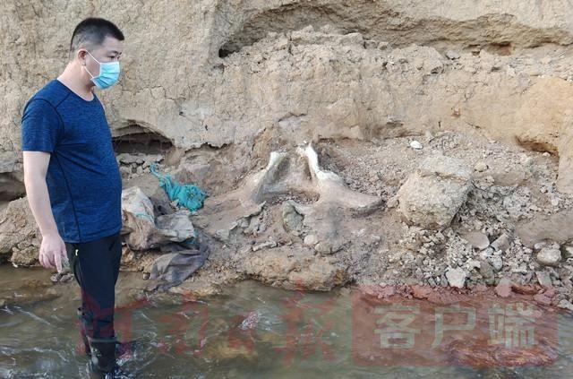 河南古代到底有大象吗?汝州市发现古象盆骨化石
