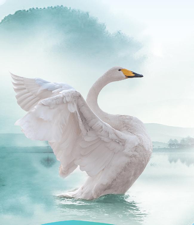 黄河有多好 天鹅最知道