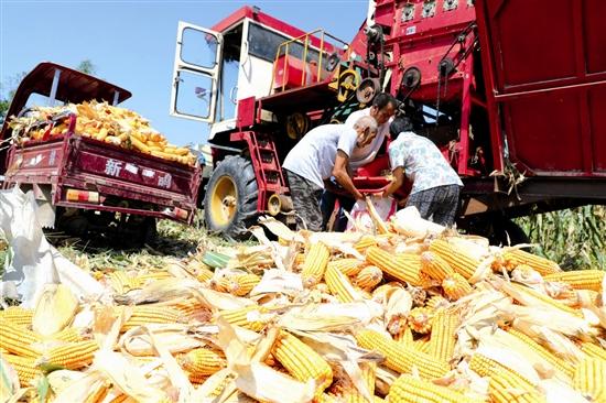 【三门峡】玉米陆续进入收割期
